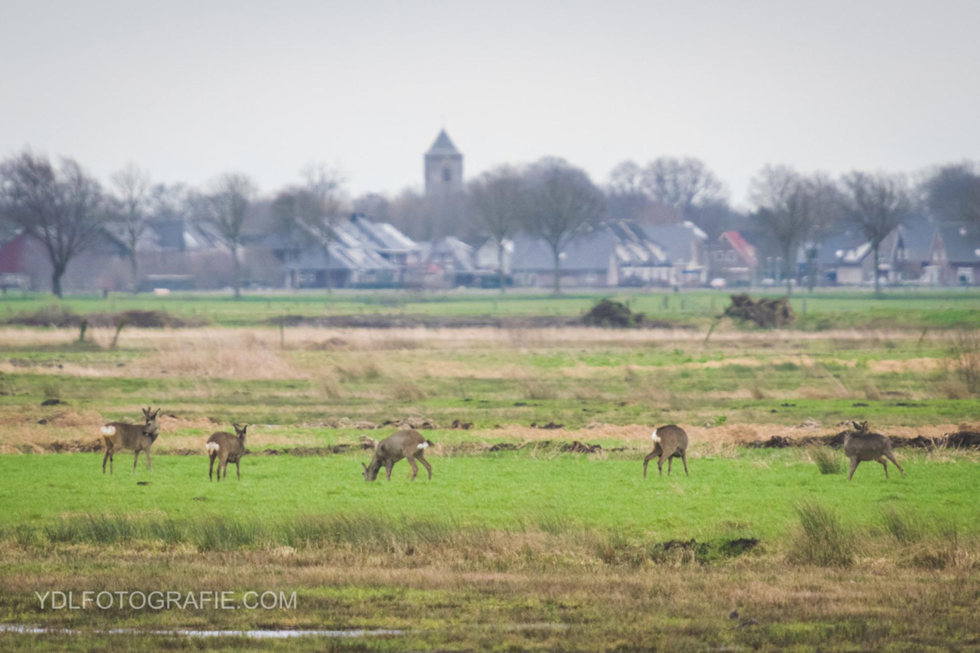 Reeën in Rouveen - - - foto door Yorbendelange op 02-02-2018 - deze foto bevat: reeen - Deze foto mag gebruikt worden in een Zoom.nl publicatie