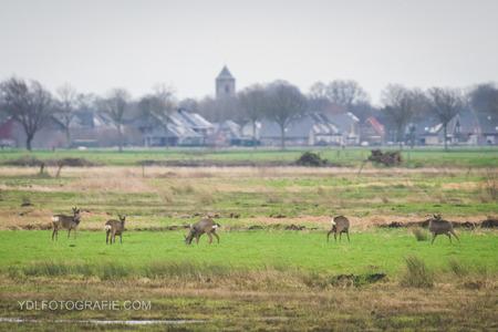 Reeën in Rouveen - - - foto door Yorbendelange op 02-02-2018 - deze foto bevat: reeen