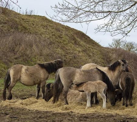 groep koniks - De Koniks staan nog wat  te eten op het hoogste plekje van de Loowaard. Daarna gaan ze op zoek naar vers gras - foto door aloyss op 28-02-2021 - deze foto bevat: natuur, dieren, nederland