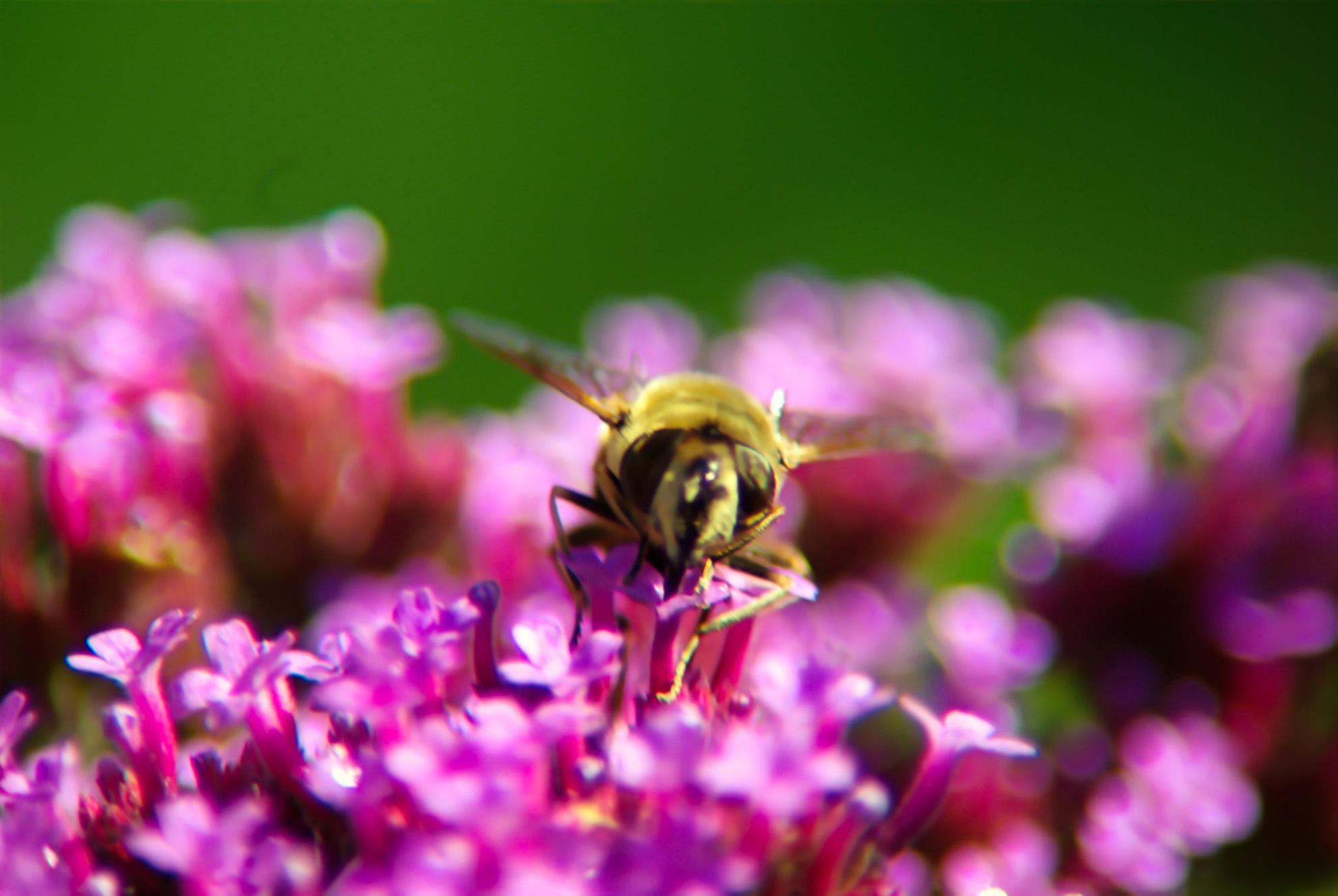 Bij - - - foto door ThomasTGH op 29-07-2017 - deze foto bevat: roze, groen, paars, macro, bloem, natuur, bij, geel, zwart, insect