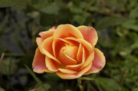 roos in de natuur