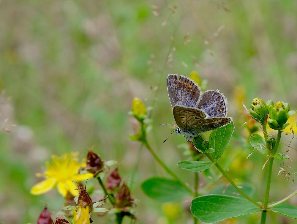 Blauwtje - In het struunparkje in Koekangerveld...  gr jenny en allen bedankt voor de reactie,s... - foto door jenny42 op 04-08-2017 - deze foto bevat: groen, blauw, natuur, vlinder, bruin, geel, dieren, koekange.