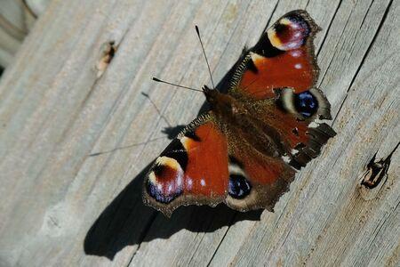 Dagpauwoog - Allen bedankt voor de reactie's en weer een nieuwe kans.  gr jenny.. - foto door jenny42 op 03-07-2018 - deze foto bevat: rood, vlinder, dieren, hout, ogen, vleugels., antenne.lijfje, zwart.blauw grijs