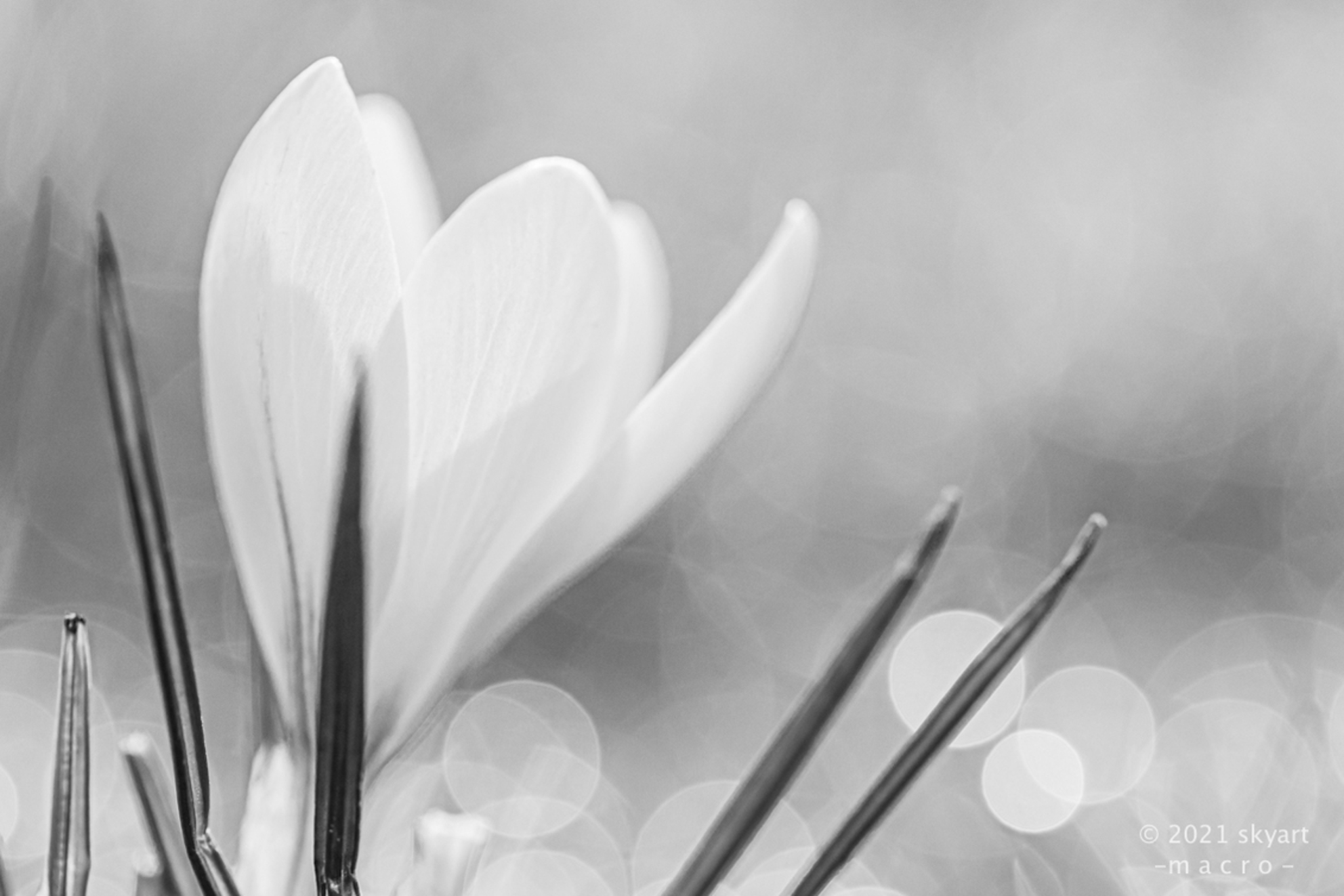 Lente - - - foto door skyart op 25-02-2021 - deze foto bevat: macro, wit, zon, bloem, lente, natuur, zwart, tegenlicht, dof, bokeh - Deze foto mag gebruikt worden in een Zoom.nl publicatie