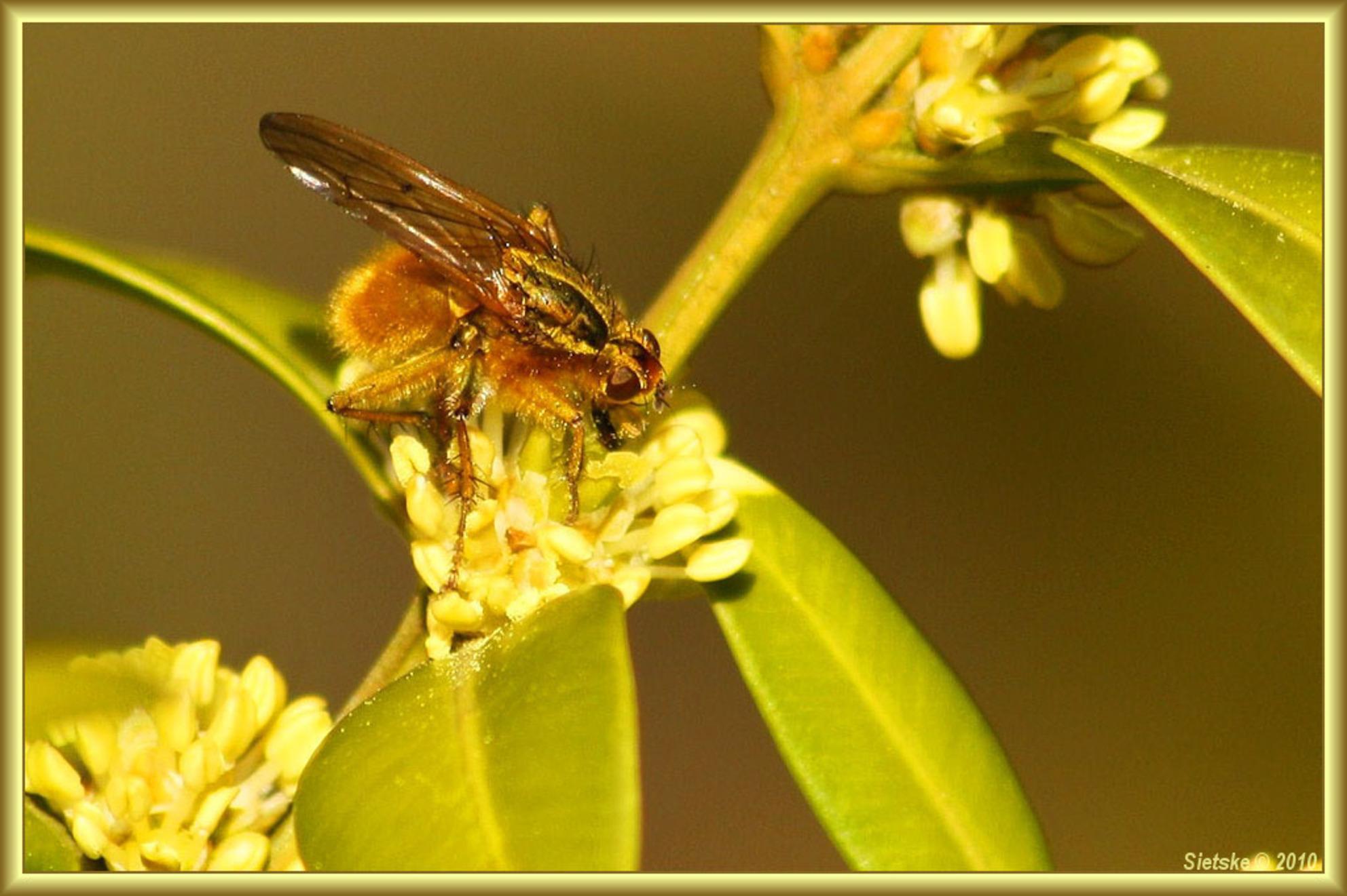 Vlieg - Een vlieg op de buxus in eigen tuin. - foto door SietskeH op 12-04-2010 - deze foto bevat: macro, vlieg, tuin