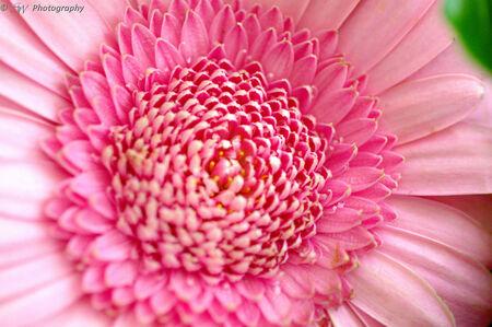Close up Gerbera - Een close up van een gerbera! - foto door Steef29 op 28-06-2015 - deze foto bevat: roze, macro, zon, bloem, gerbera, licht