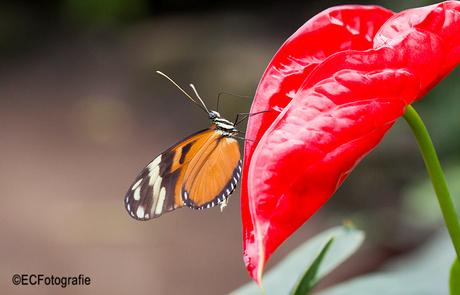 vlinder of bloem?