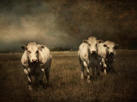 3 koeien