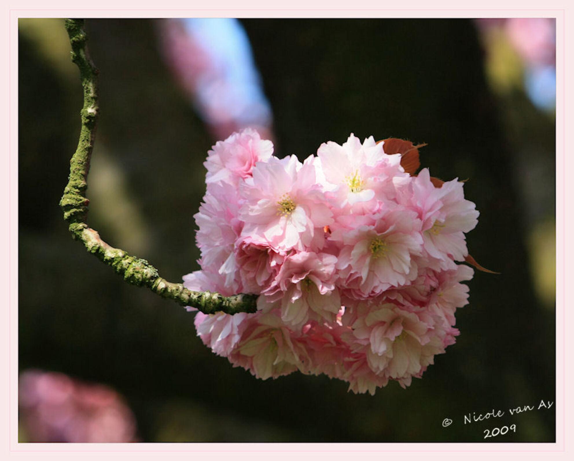 Bloesembol - Bij de slootkant was genoeg te beleven vanmiddag.  Van broedende meerkoeten tot prachtig kleurende en geurende bloesem.  Deze bol hing aan een wel  - foto door nicole-8 op 15-04-2009 - deze foto bevat: bloem, lente, rose, voorjaar, canon, bloesem, blaadjes, nivas, eos450d
