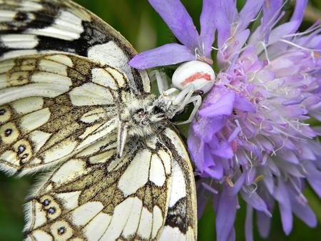 gewone kameleonspin met dambordje - Gewone kameleonspin heeft een prooi bemachtigd die veel groter is dan hij zelf. Deze mooie vlinder, een dambordje, is wel de verliezer. - foto door Tricolor op 12-12-2018 - deze foto bevat: spin, vlinder, dambordje, kameleonspin