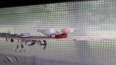 duif - gezellig samen ontbijten, en alles uit de voerbak spitten. - foto door RolandvanTol op 02-03-2021 - deze foto bevat: eten, duiven, dieren, veren, duif, veer