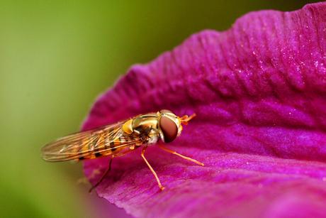 Schijnvlieg