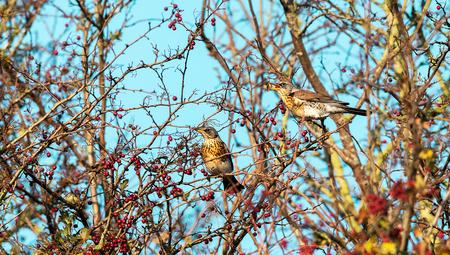 De bessen zijn er weer - Elk jaar om deze tijd komen de Kramsvogels zich vol te eten met bessen voor ze weer verder trekken naar het zuiden,  Even en het groot zien  Gr S - foto door sambikkeltje op 09-11-2020