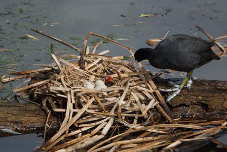 wat een pracht nest had deze meerkoet met jong