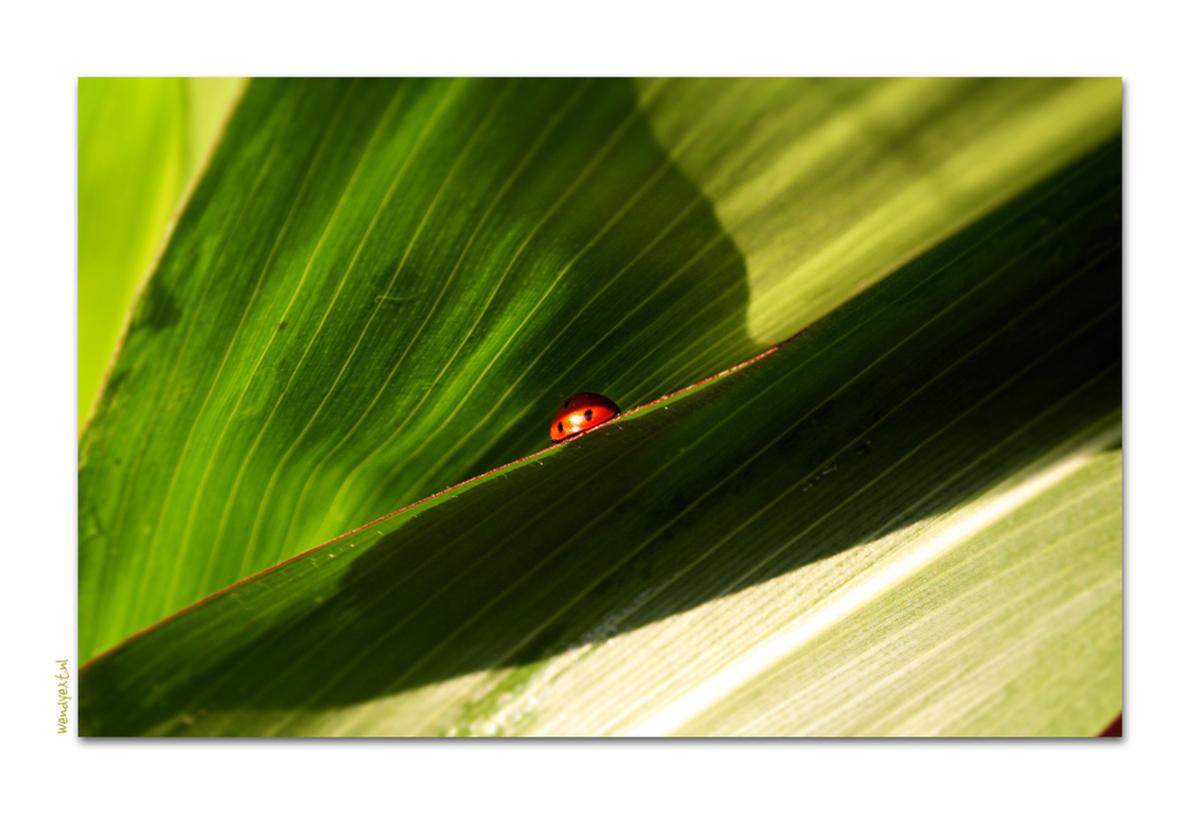Liev beestje - Tussen de buien door snel even het mais in.. - foto door wendyext op 12-07-2008 - deze foto bevat: groen, bladeren, plant, natuur, stippen, blad, zwart, mais, wendyext, liefeheersbeestje