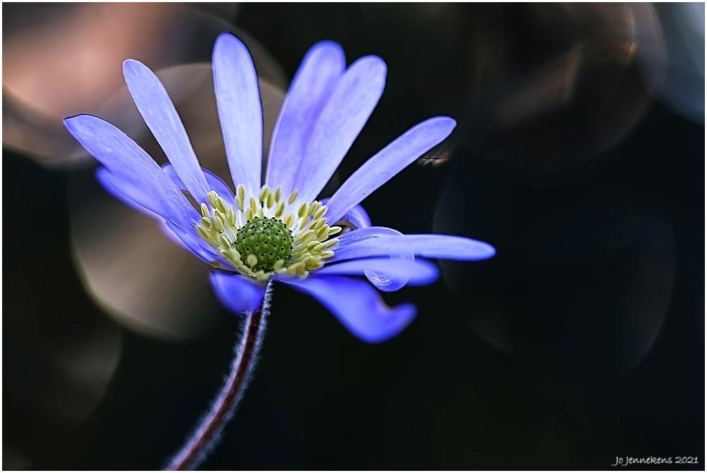 Anemone blanda - ........een beetje anders!!! - foto door Jo53 op 04-05-2021 - deze foto bevat: fabriek, bloem, bloemblaadje, kruidachtige plant, elektrisch blauw, terrestrische plant, bloeiende plant, eenjarige plant, stuifmeel, daisy familie