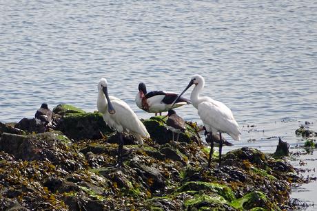 Vogels op het Wad