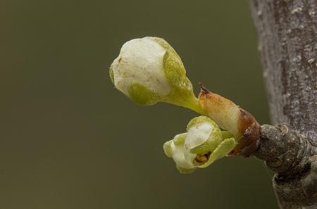 Pruimenbloesem - Op het punt van uitkomen. Macrolens met tusssenring - foto door WillemH52 op 08-04-2021 - deze foto bevat: pruim, bloesem, lente, macro, bloem, fabriek, takje, terrestrische plant, vloeistof, bloeiende plant, boom, macrofotografie, bloemblaadje, bod