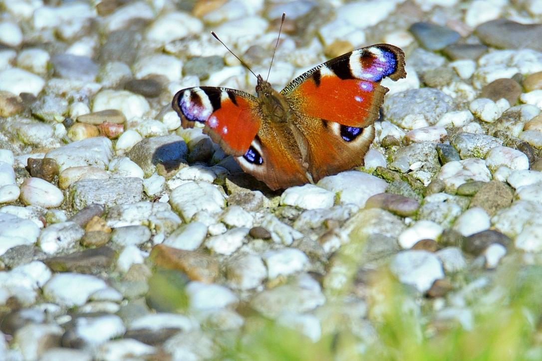 Dagpauwoog - De eerste dit jaar ,en lekker opwarmen in het zonnetje. - foto door Time---traveler op 16-04-2021 - deze foto bevat: aglais i, bestuiver, insect, geleedpotigen, vlinder, motten en vlinders, natuurlijk landschap, elektrisch blauw, terrestrische dieren, macrofotografie