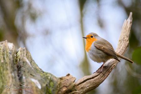 roodborst - roodborst - foto door AndyvdSteen op 16-04-2021 - deze foto bevat: vogel, vogeltje, vogels, vogeltjes, roodborst, roodborstje, dier, natuur, vogel, bek, afdeling, hout, takje, veer, zangvogel, europees roodborstje, staart, kofferbak