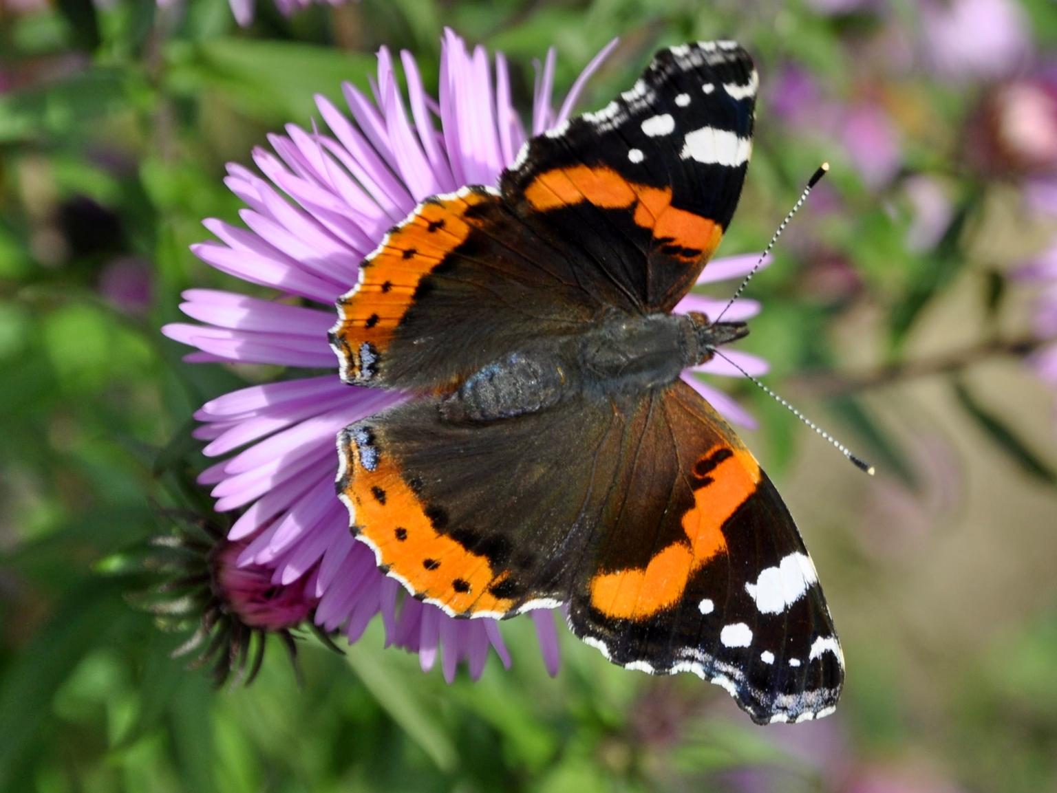 Vlinder - Atalanta - foto door mploeg-2701 op 16-04-2021 - locatie: Nieuwerkerk aan den IJssel, Nederland - deze foto bevat: bloem, bestuiver, fabriek, insect, vlinder, geleedpotigen, kleine schildpad, motten en vlinders, bloemblaadje, vanessa (vlinder)