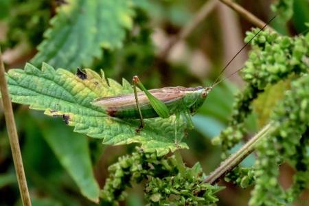 Zuidelijk Spitskopje - Het Zuidelijk Spitskopje heeft lagere vleugels dan het gewone Spitskopje.  - foto door Vissernpz op 13-04-2021 - locatie: Assen, Nederland - deze foto bevat: groen, sprinkhanen, spitskopje, insect, fabriek, insect, geleedpotigen, organisme, terrestrische plant, sprinkhaan, plaag, takje, cricket, gras