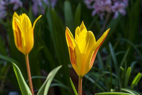 Tulipa'Goudstuk'