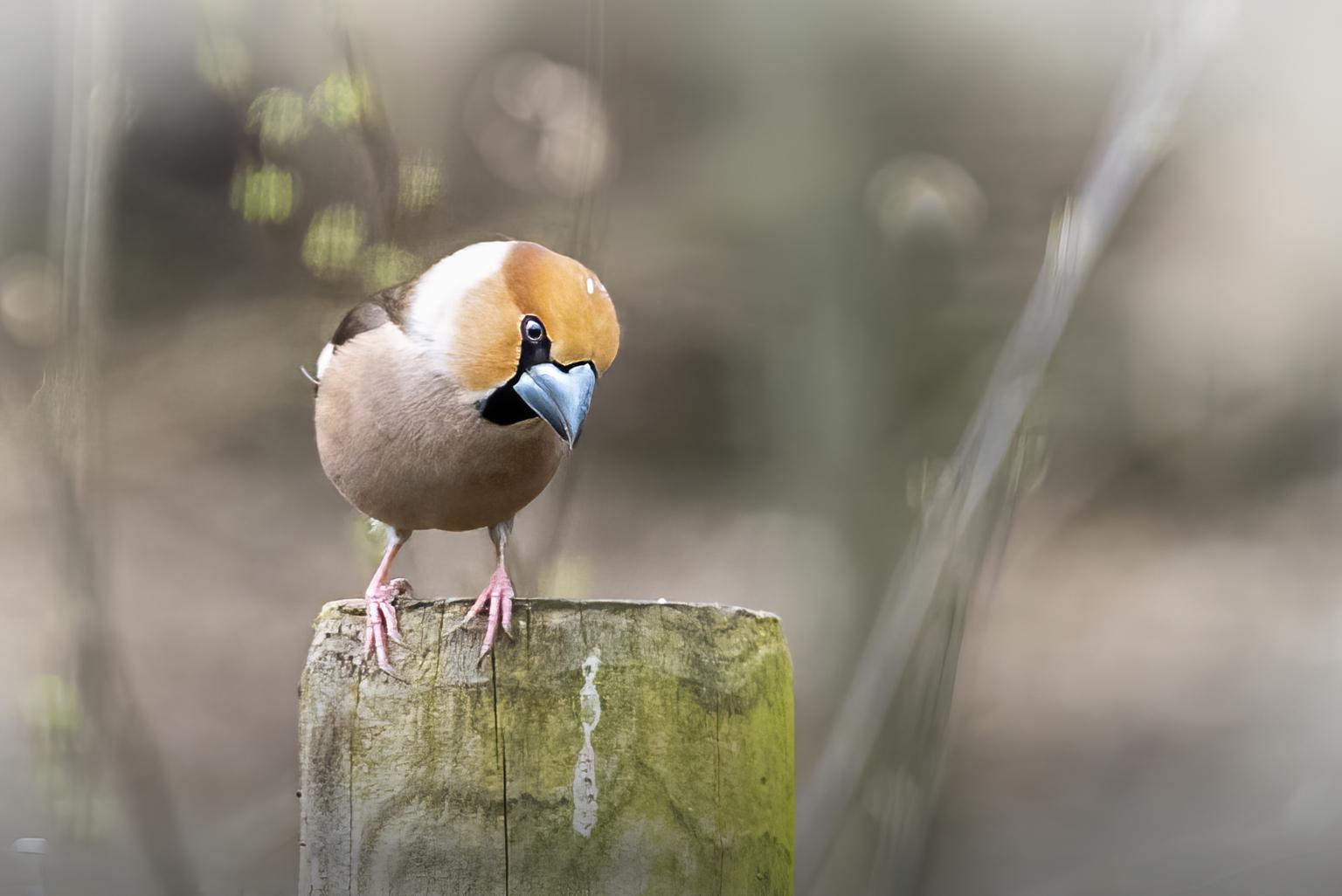Appelvink - Plots in mijn tuin een setje Appelvinkjes. Gelukkig kon ik er eentje vastleggen. Mooi geposeerd. Nog nooit eentje eerder gezien trouwens. - foto door a.j.dejong2 op 12-04-2021 - locatie: 3852 Ermelo, Nederland - deze foto bevat: appelvink, speulderbos, vogel, bek, hout, takje, terrestrische plant, vleugel, veer, dieren in het wild, neerstekende vogel, zangvogel