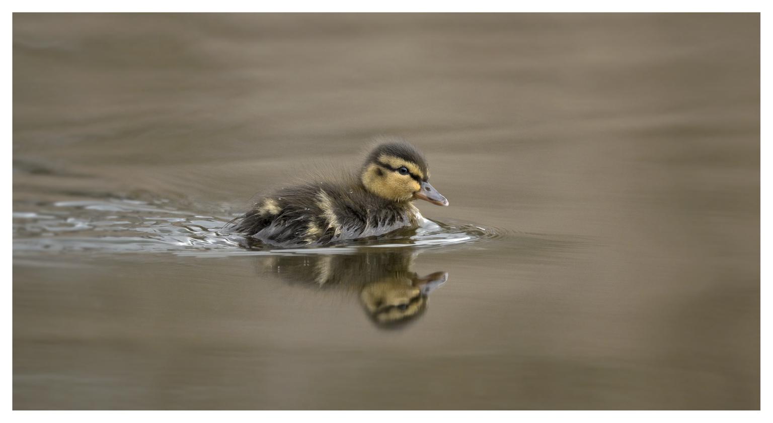 Eendenkuiken. - Het voorjaar hangt in de lucht en zwemt door de vijver. - foto door Napolean op 16-04-2021 - deze foto bevat: .eendje, water, vogel, vloeistof, bek, vloeistof, lichaam van water, eenden, ganzen en zwanen, veer, watervogels, meer