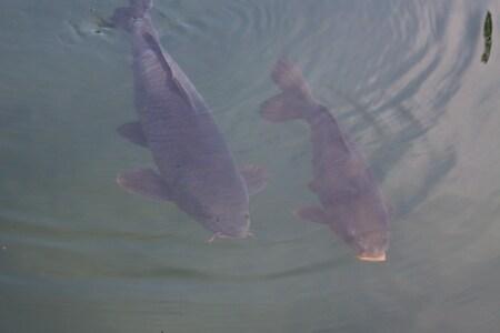 samen - heerlijk synchroon zwemmen in het koele water - foto door TMQ op 13-04-2021 - locatie: 5081 NJ Hilvarenbeek, Nederland - deze foto bevat: vissen, water, water, gewervelde, onderwater, einde, vloeistof, vis, meer, marine biologie, vleugel, staart