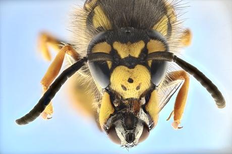 Wespen 🐝 blijven jagers