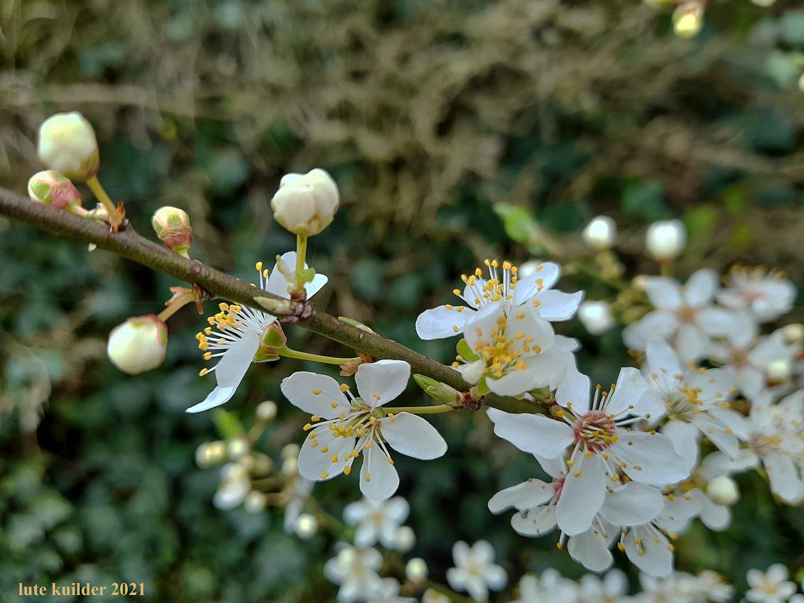Bloemen. - Bloesemtak - foto door lutek op 14-04-2021 - locatie: Almelo, Nederland - deze foto bevat: bloem, fabriek, bloemblaadje, takje, afdeling, bloeiende plant, bloesem, terrestrische plant, wildflower, plant stam