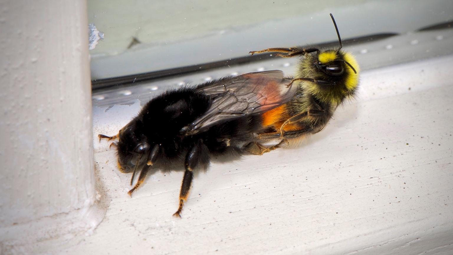 bijen sex???? - Doen ze het nou of niet? - foto door karel.groeneweg op 13-04-2021 - deze foto bevat: bestuiver, insect, geleedpotigen, plaag, parasiet, insect met membraanvleugels, vlieg, diptera, vleugel, insecten met netvleugels