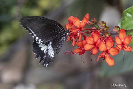 tropische vlinder (Papilio Polytes)