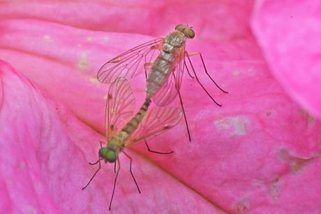 Geelpootschubsnipvliegen