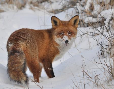 Reintje - Hij past nu wel ..in de ruige weersomstandigheden  - foto door pietsnoeier op 07-04-2021 - deze foto bevat: sneeuw, carnivoor, fabriek, zoogdier, boom, fawn, terrestrische dieren, natuurlijk landschap, bakkebaarden, vos