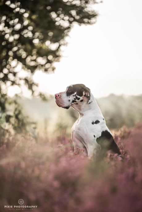 Duitse Dog harlekijn in het ochtendlicht op de paarse heide