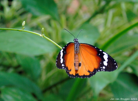 De kleine monarchvlinder (Danaus chrysippus)