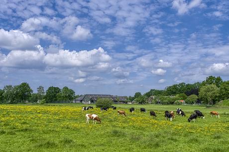 Grazende koeien onder een prachtige hemel