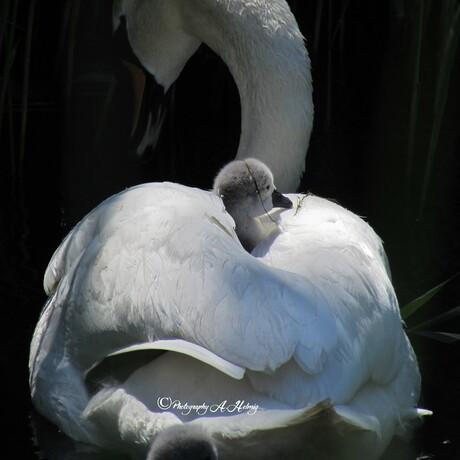 Zwaanmoeder met jong