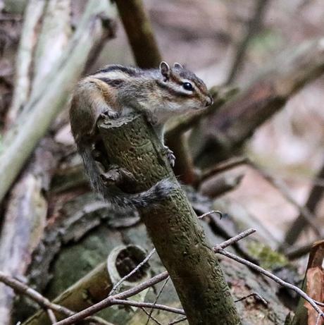 grond eekhoorntje