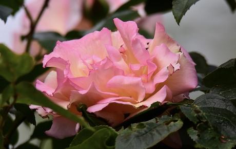 We zitten op rozen..