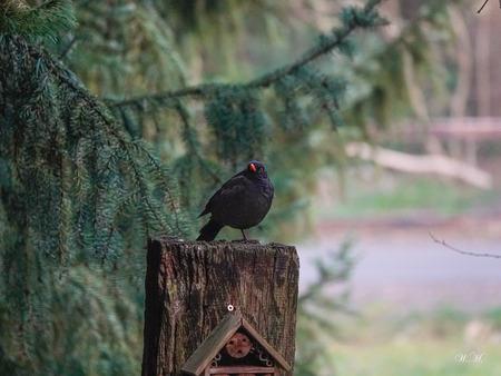 Merel in de tuin! - Vaak gaat de merel even op de paal zitten. Meestal bijft hij wel een poosje zitten - foto door WMeijerink op 16-04-2021 - deze foto bevat: merel, vogels, indetuin, natuur, natuurfoto, vogel, gewervelde, fabriek, natuur, takje, hout, afdeling, bek, zoogdier, veer