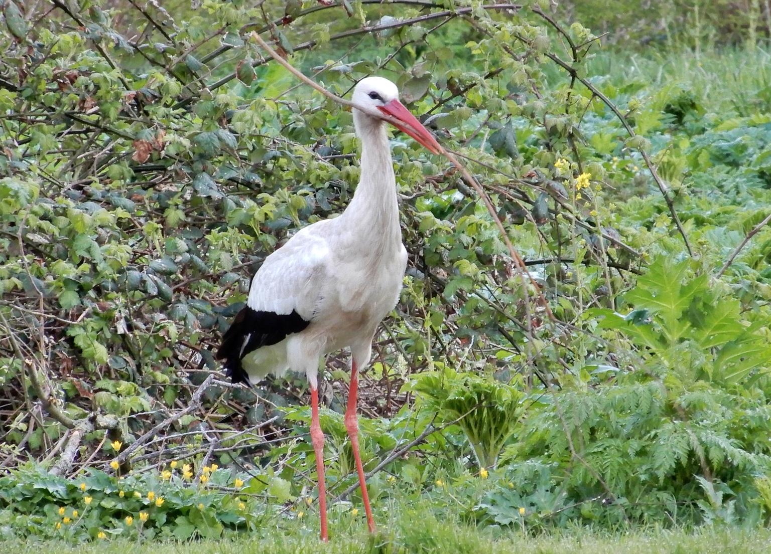 gevonden! - de ooievaar was op zoek naar een aanvulling voor het nest, er ontbraken kennelijk nog wat grotere takken. je ziet dat hij iets passends gevonden heef - foto door Tonny1946 op 16-04-2021 - locatie: Nieuwegein, Nederland - deze foto bevat: ooievaar, nieuwegein, nedereindseweg, grasveld, takjes, verzamelen, 15 april 2021, fabriek, vogel, plant gemeenschap, witte ooievaar, bek, vegetatie, gras, biome, ciconiiformes, pelecaniformes