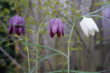 Kievietsbloemen wit en paars - 3 kievietsbloemen  - foto door Frenk2021 op 16-04-2021 - locatie: Veldhoven, Nederland - deze foto bevat: bloemen, kievietsbloemen, voorjaar, bloem, fabriek, snake's hoofd, terrestrische plant, purper, bloemblaadje, bloeiende plant, vaste plant, pedicel, gras
