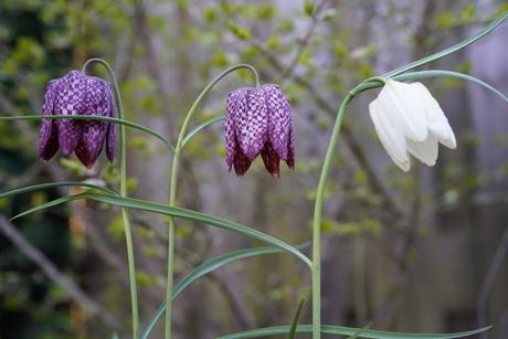 Kievietsbloemen wit en paars