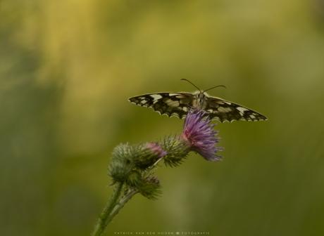 Vlinderportret