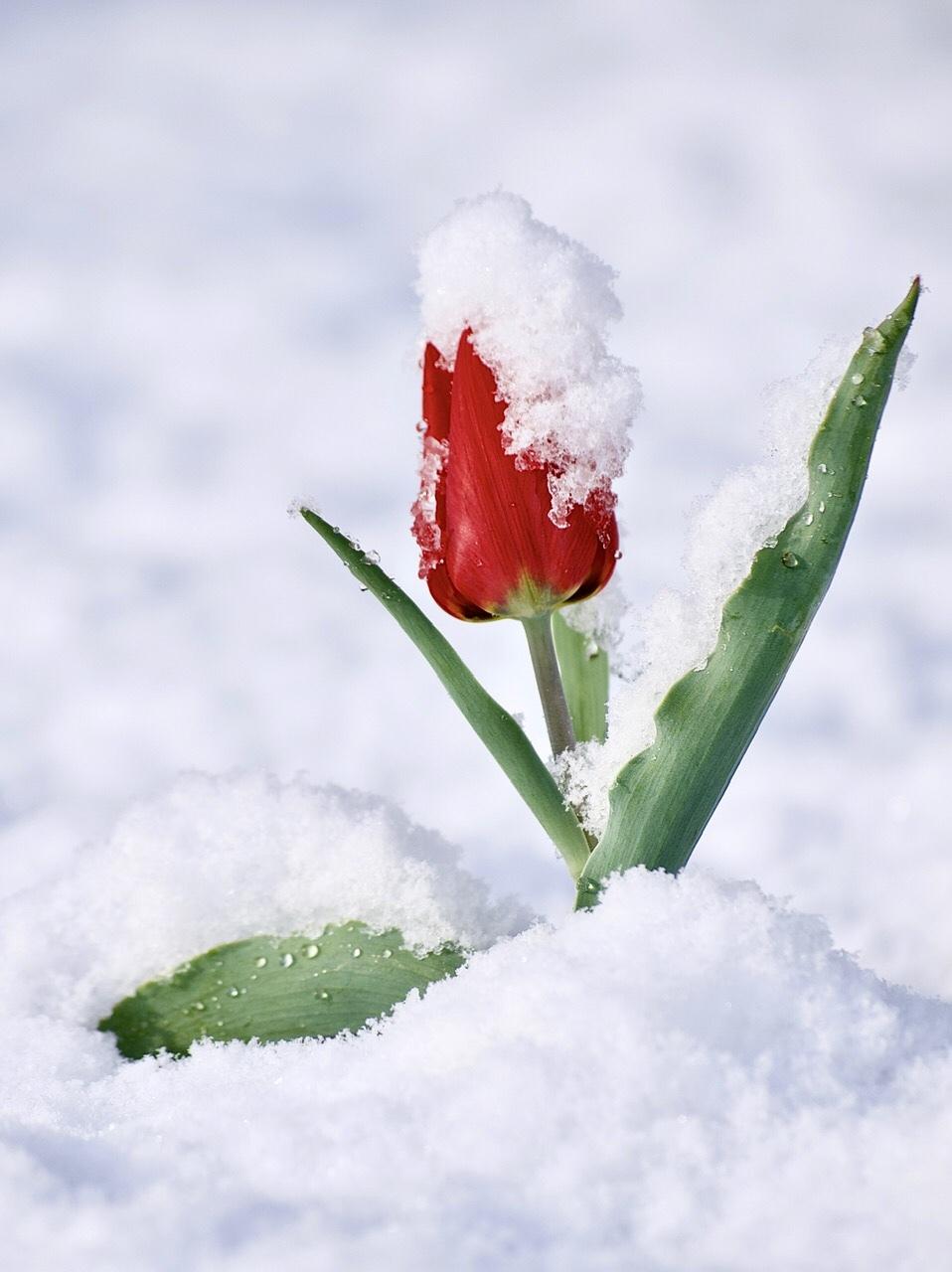 Aprilse grillen... - Deze foto heb ik gemaakt dinsdag in de voormiddag. Het was al een tijdje aan een sneeuwen en plots kwam, maar heel eventjes, de zon erdoor,  - foto door paulcelus op 10-04-2021 - locatie: Hasselt, België - deze foto bevat: natuur, tulp, sneeuw, lente, rood, groen, tuin, bloem, sneeuw, fabriek, bloem, bloemblaadje, takje, winter, natuurlijk landschap, bloeiende plant, bevriezing, terrestrische plant