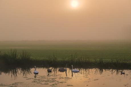 Zwanen genieten van de zonsopkomst