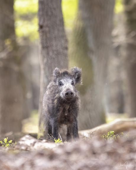 Wild zwijn in het bos